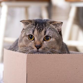 Gatto scotch fold in una scatola di cartone sul pavimento del soggiorno.