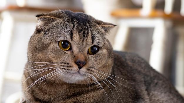 Gatto scotch fold in soggiorno vicino al tavolo da pranzo.