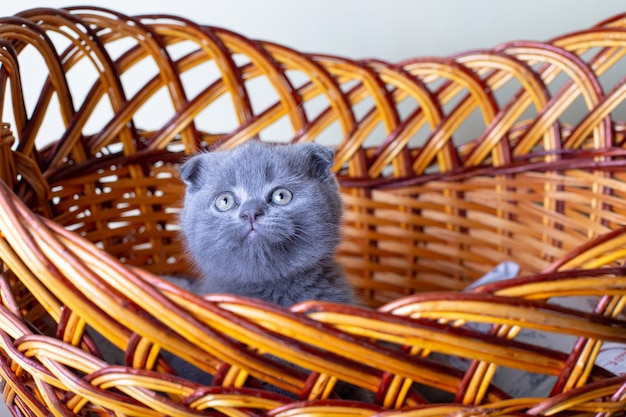 Gattino scozzese (britannico) dalle orecchie pendenti. ritratto di un bambino, piega scozzese carina. si siede da solo in un grande cesto. colore grigio. primo piano, messa a fuoco selettiva.