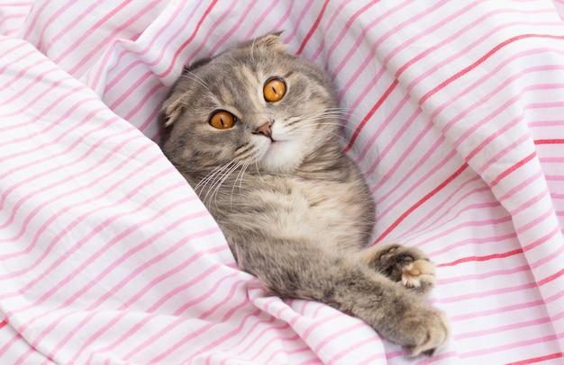 Gatto scottish fold sul letto