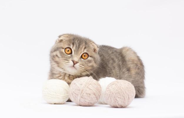 Scottish fold cat kitten con un gomitolo di lana.