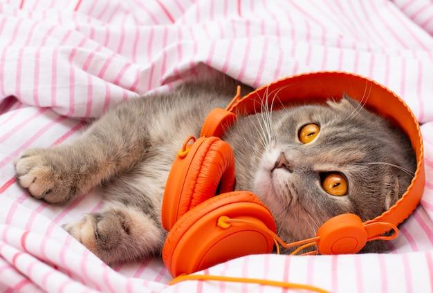 Il gatto scottish fold si trova nelle cuffie e sembra divertente su un letto gatto che ascolta musica.