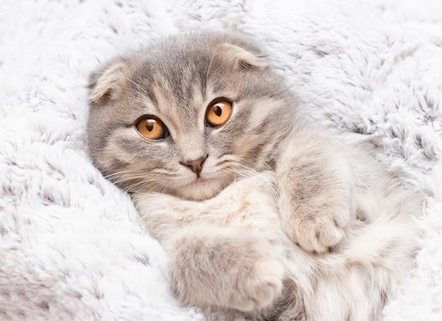 Gatto scottish fold sdraiato sulla schiena
