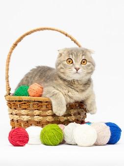Gattino grigio scottish fold che si siede nel cestino con palline rosa e grigie