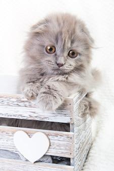 Gatto lanuginoso grigio del gattino del popolare dell'altopiano del popolare dello scottish