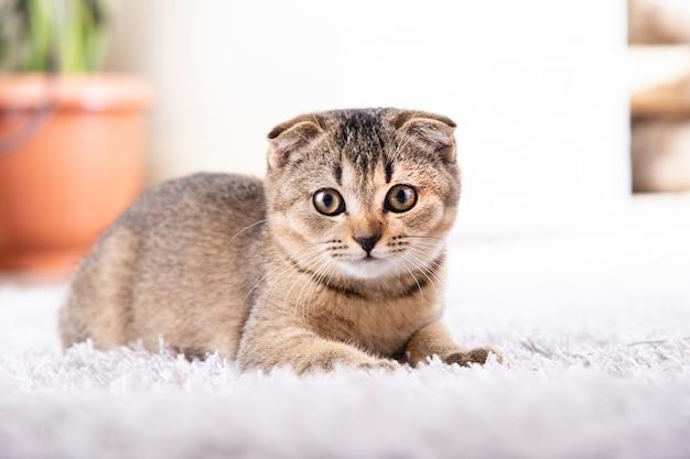 Il gattino del popolare dello scottish è seduto sul tappeto nell'appartamento.
