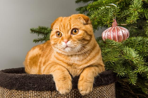 Il gatto rosso scottish fold è seduto vicino all'albero di natale