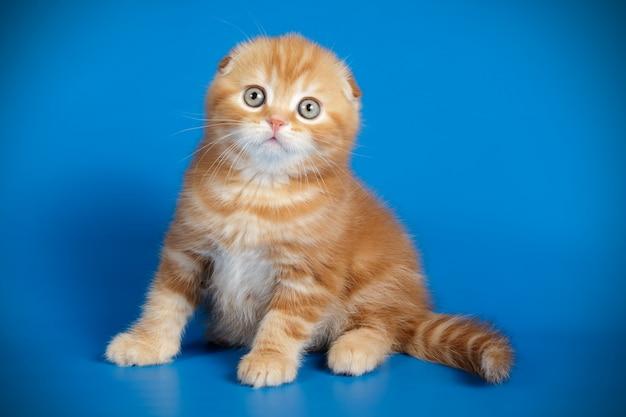 Gatto scottish fold a pelo corto