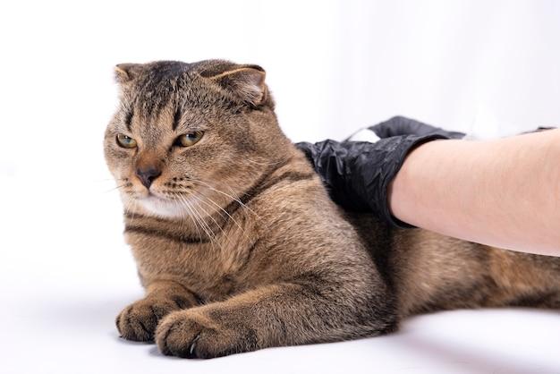 Scottish fold tabby cat visitando il veterinario. stava controllando lo stato di salute dal veterinario sul tavolo nella stanza degli esami con l'assistente veterinario in background. pet e concetto di assistenza sanitaria.