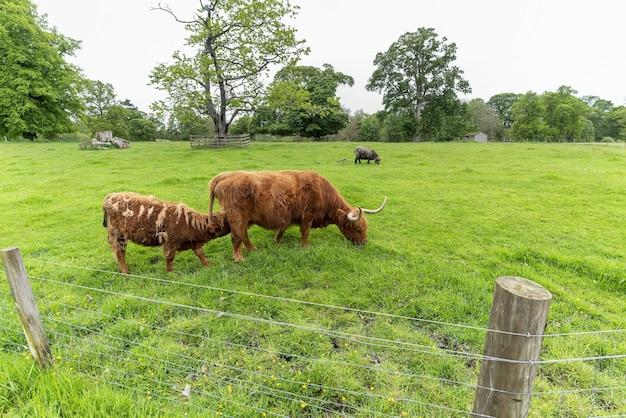 Mucca scozzese dell'altopiano che mangia erbe mentre il suo vitello succhia il latte, scozia