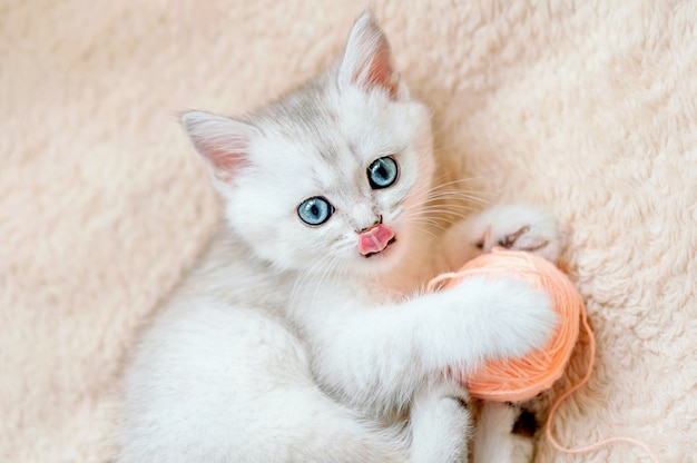 Gattino cincillà scozzese dritto argento con gli occhi azzurri e la lingua sporgente gioca con la palla di filo rosa