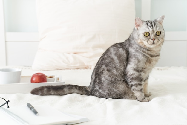 Gatto di tabby scozzese che si trova a letto a casa