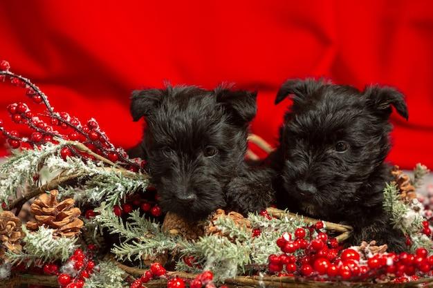 Posa di cuccioli di terrier scozzese. simpatici cagnolini neri o animali domestici che giocano con le decorazioni di natale e capodanno. sembra carino. concetto di vacanze, tempo festivo, umore invernale. spazio negativo.