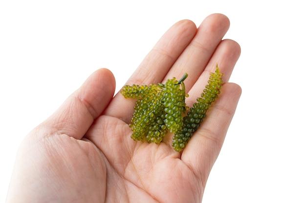 Uva di mare o caviale verde a portata di mano, è una pianta acquatica commestibile