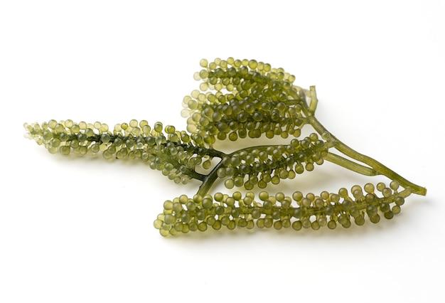 Uva di mare o caviale verde isolato su uno sfondo bianco, è una pianta acquatica commestibile