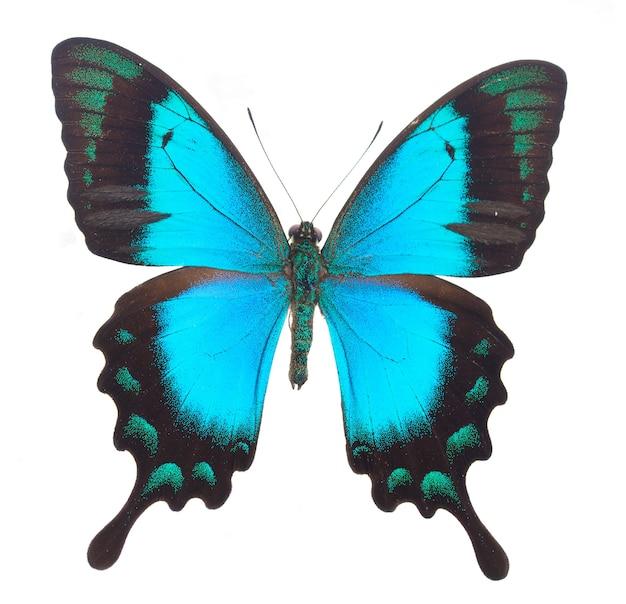Farfalla di coda forcuta verde mare isolata su bianco