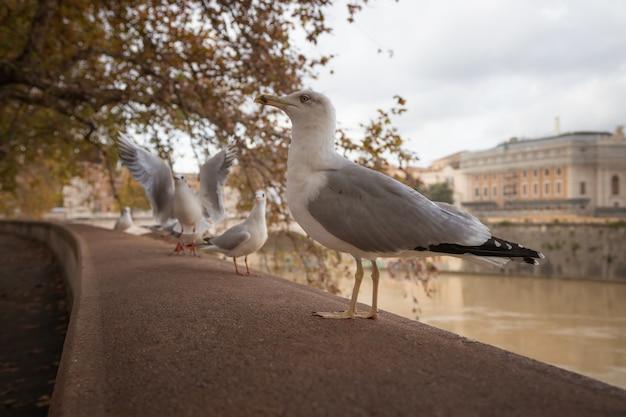 Gabbiani seduti sull'argine del fiume tevere a roma italia