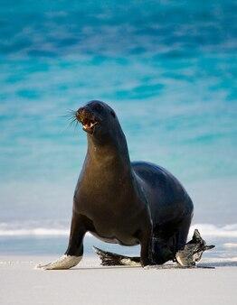 Il leone di mare è sdraiato sulla sabbia