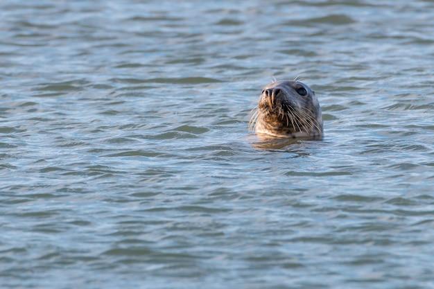Leone di mare nell'oceano atlantico settentrionale vicino all'isola dei puffini in galles con la testa che spunta dall'acqua e si guarda intorno