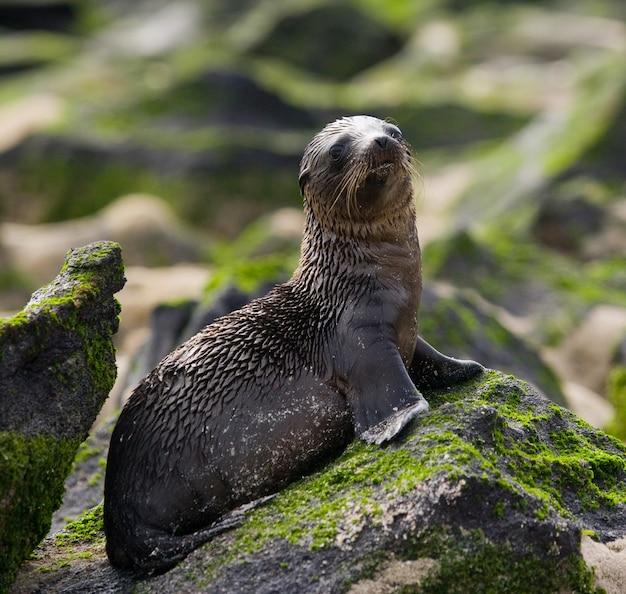 Leone di mare sulle rocce