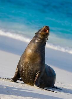 Leone di mare sulla sabbia in riva al mare