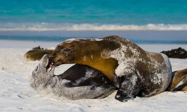 I leoni marini stanno giocando tra loro