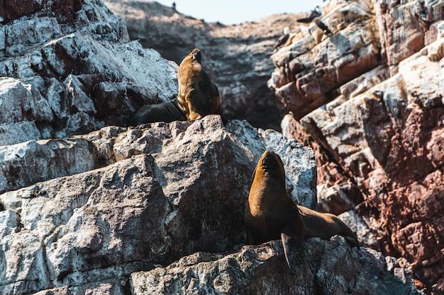 Leoni marini sulle islas ballestas, perù