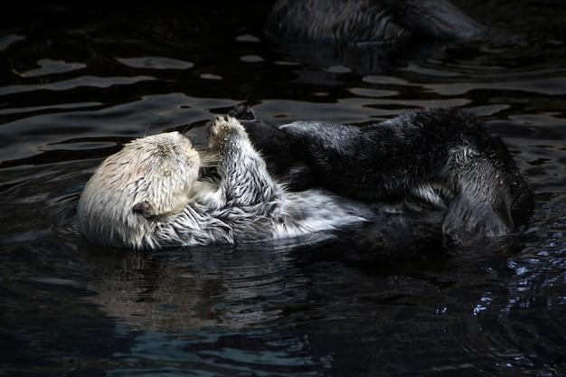 Lontra di mare (enhydra lutris)