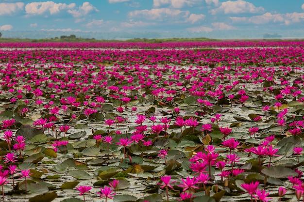 Il mare di loto rosso, lago nong harn, udon thani, thailandia