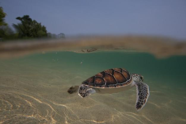 I piccoli di tartaruga marina vengono rilasciati in mare dal programma di volontariato della royal navy thai. sattahip, tailandia