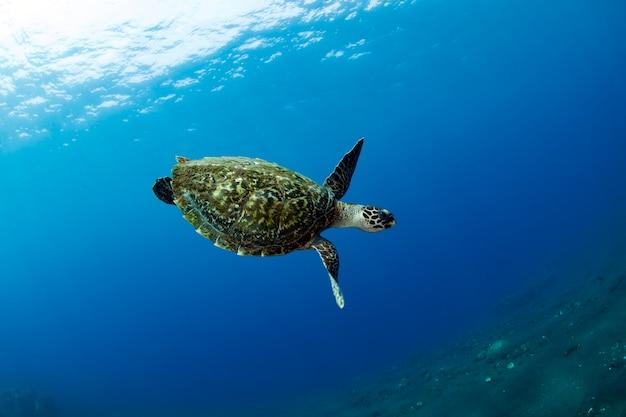 La tartaruga marina nuota lungo le barriere coralline mondo sottomarino di bali