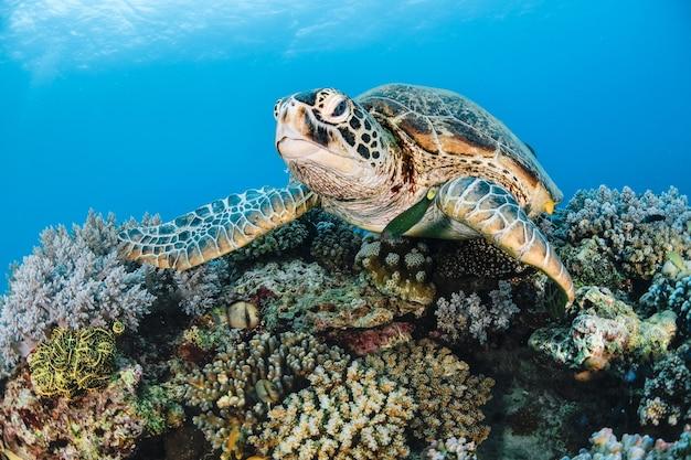 Tartaruga marina in cima al corallo nel mare