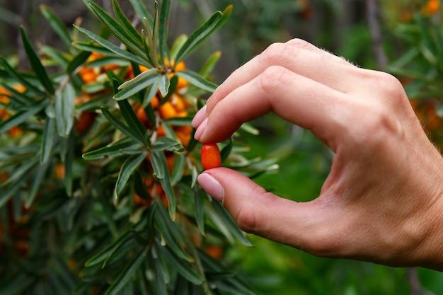 Bacca di olivello spinoso tra le dita sul primo piano del cespuglio di olivello spinoso