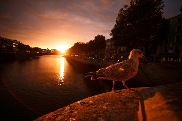 Gabbiano accanto al fiume durante un tramonto a dublino
