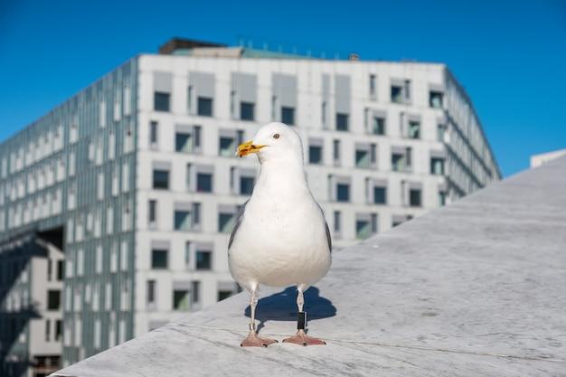 Gabbiano un becco sporco con etichetta in gamba in piedi su un edificio in città