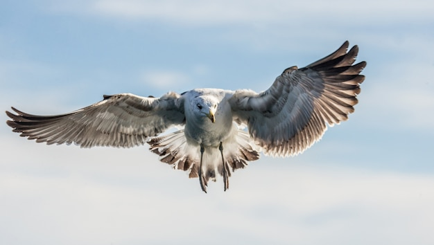 Gabbiano in volo contro il cielo blu
