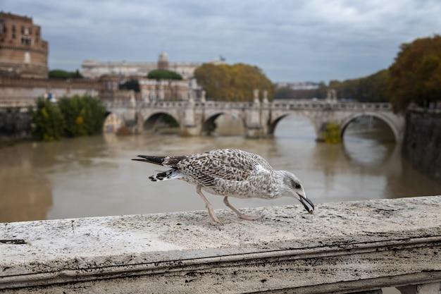 Gabbiano becca dolcetti sul ponte romano