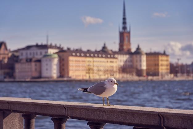 Ritratto di gabbiano in città. vista ravvicinata di un uccello seduto su una riva del mare contro un'acqua blu e sfocata città vecchia di stoccolma.