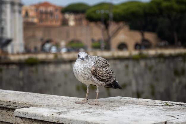 Seagull siede sul parapetto di un ponte sul tevere roma italia