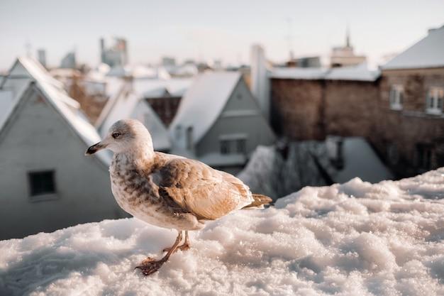 Gabbiano con l'inverno tallinn sullo sfondo, estonia