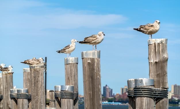 Gabbiani presso il vecchio molo dei traghetti su liberty island vicino a new york city, stati uniti d'america