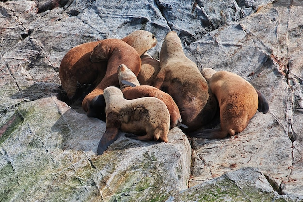 Foche sull'isola nel canale di beagle vicino alla città di ushuaia nella terra del fuoco, in argentina