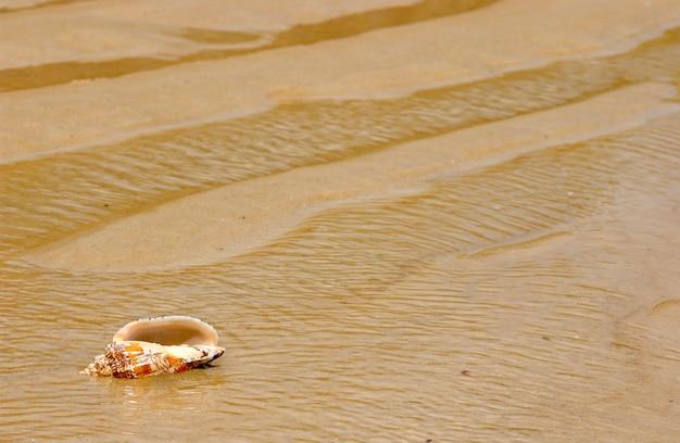 Conchiglia sulla sabbia della spiaggia come sfondo.