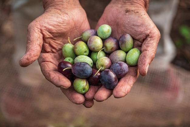 La raccolta stagionale delle olive in puglia, nel sud dell'italia
