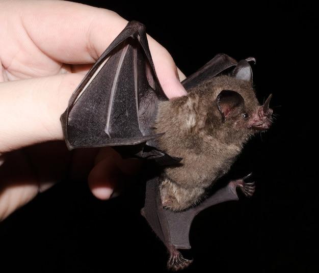 Il pipistrello dalla coda corta di seba (carollia perspicillata) è una specie di pipistrello comune e diffusa nella famiglia phyllostomidae e si trova in america centrale, sud america e nelle isole delle antille.