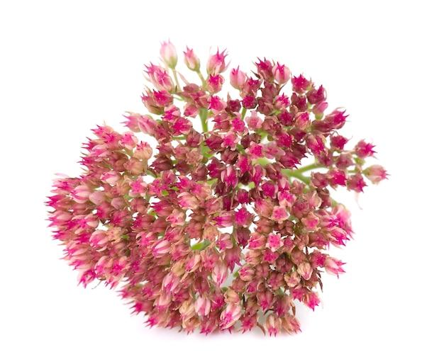 Sedum fiori isolati su sfondo bianco hylotelephium spectabile o vistoso stonecrop