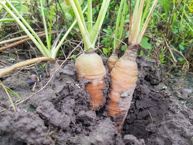 La carota da seme daucus carota subsp sativus sputa su un letto in un campo agricolo