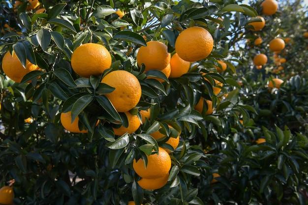 Fattoria di mandarini senza semi nell'isola di jeju, corea del sud