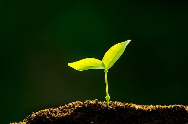 La piantina sta crescendo dal terreno fertile