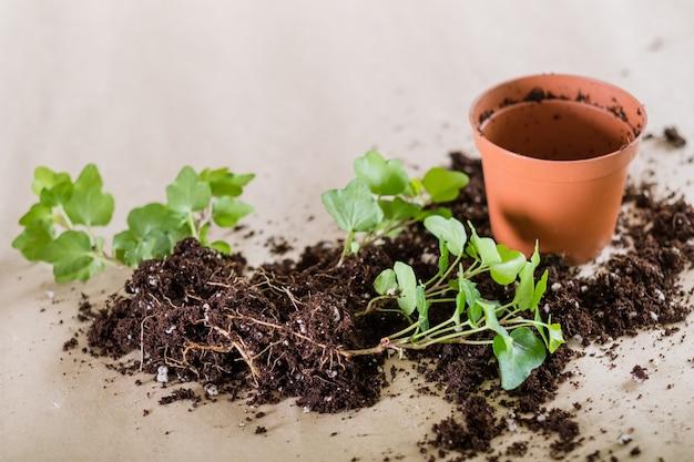 Germinazione della piantina. concetto di giardinaggio domestico. trapianto di piante.